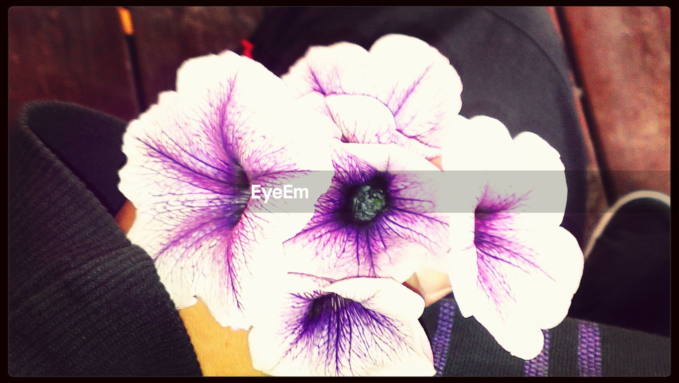 transfer print, auto post production filter, flower, indoors, person, close-up, flower head, petal, fragility, high angle view, freshness, purple, holding, pink color, part of, day, paper