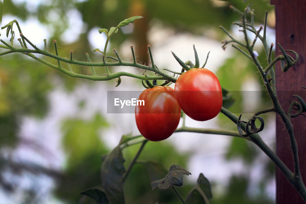food, healthy eating, fruit, food and drink, wellbeing, freshness, plant, growth, focus on foreground, red, tomato, nature, day, close-up, vegetable, no people, tree, leaf, beauty in nature, ripe, outdoors