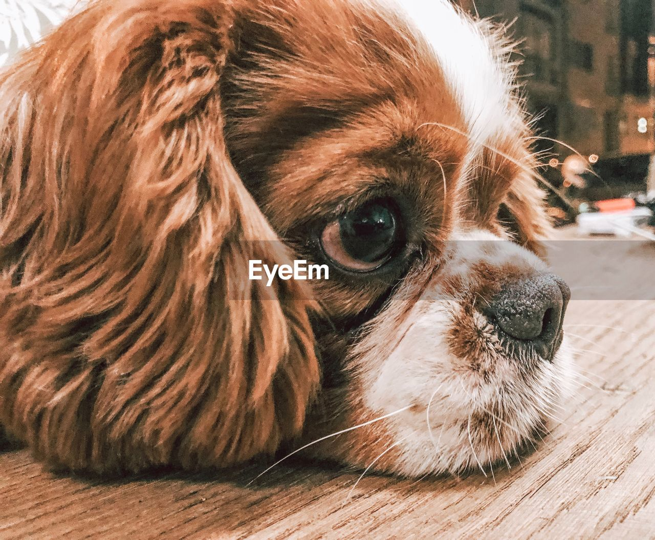 one animal, mammal, domestic, animal, pets, animal themes, domestic animals, dog, canine, vertebrate, lap dog, close-up, focus on foreground, portrait, animal body part, animal head, looking, no people, relaxation, looking away, small, animal eye