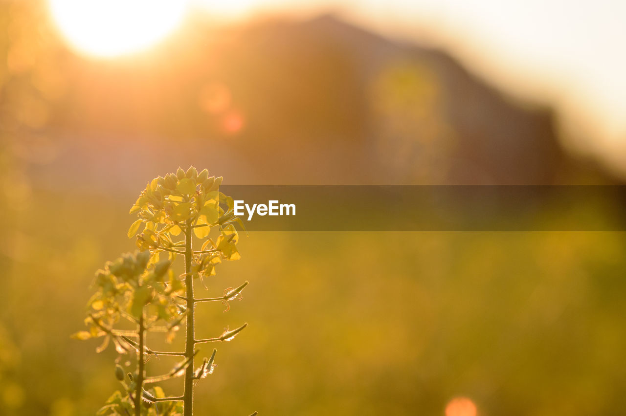 nature, growth, field, plant, yellow, focus on foreground, flower, no people, beauty in nature, sunlight, agriculture, outdoors, close-up, day, sunset, fragility, freshness, sky
