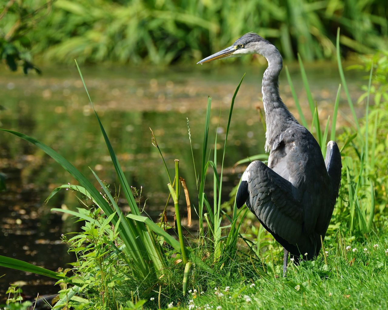 animal, animal themes, bird, vertebrate, animal wildlife, animals in the wild, grass, one animal, plant, green color, nature, day, land, field, no people, heron, focus on foreground, water bird, growth, water, outdoors, animal neck