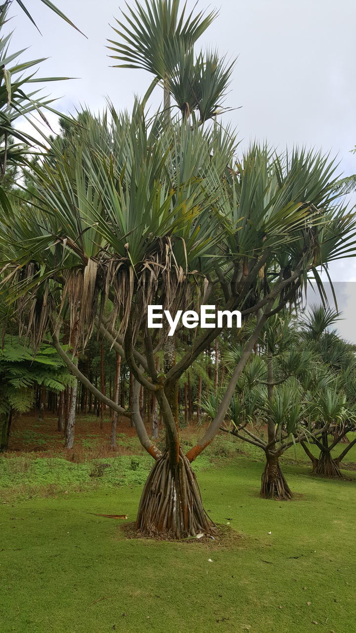 plant, growth, tree, sky, green color, land, field, beauty in nature, tranquility, nature, day, palm tree, grass, no people, tropical climate, landscape, tranquil scene, outdoors, environment, scenics - nature, coconut palm tree