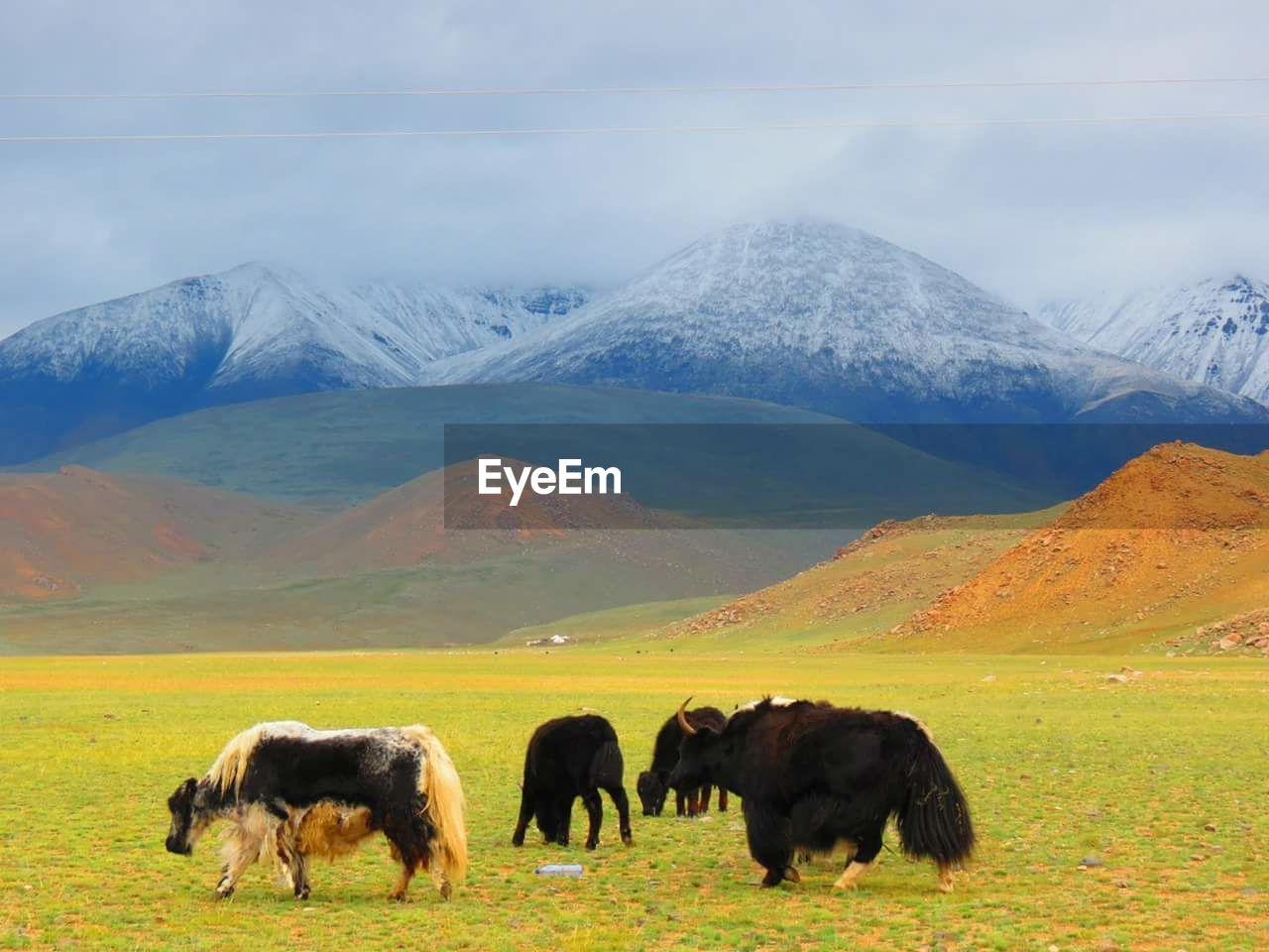 Yaks grazing on field against mountains