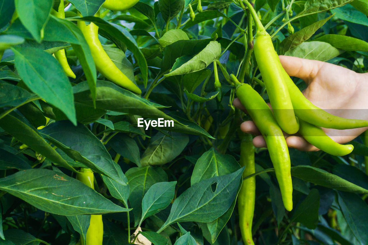 Cropped hand holding green chili peppers growing outdoors