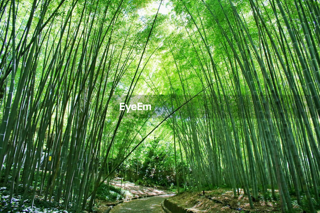Walkway amidst bamboo plants