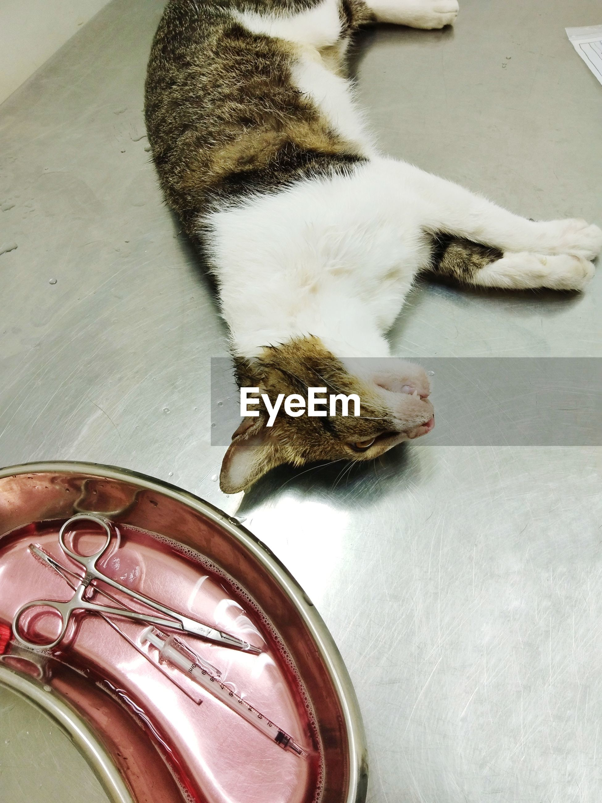 High angle view of an unconscious cat undergoing treatment at a veterinary clinic.