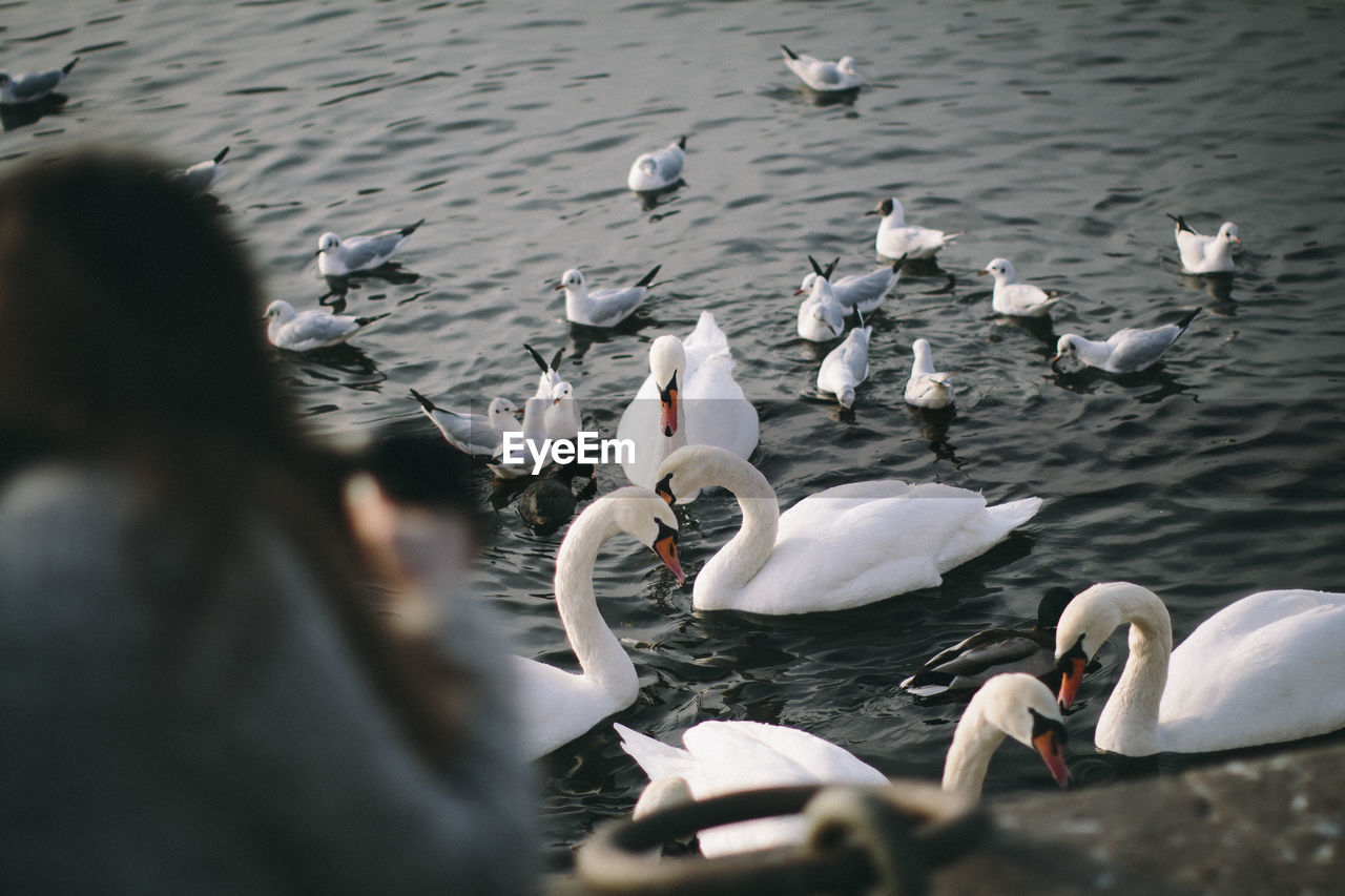 Swans In Pond