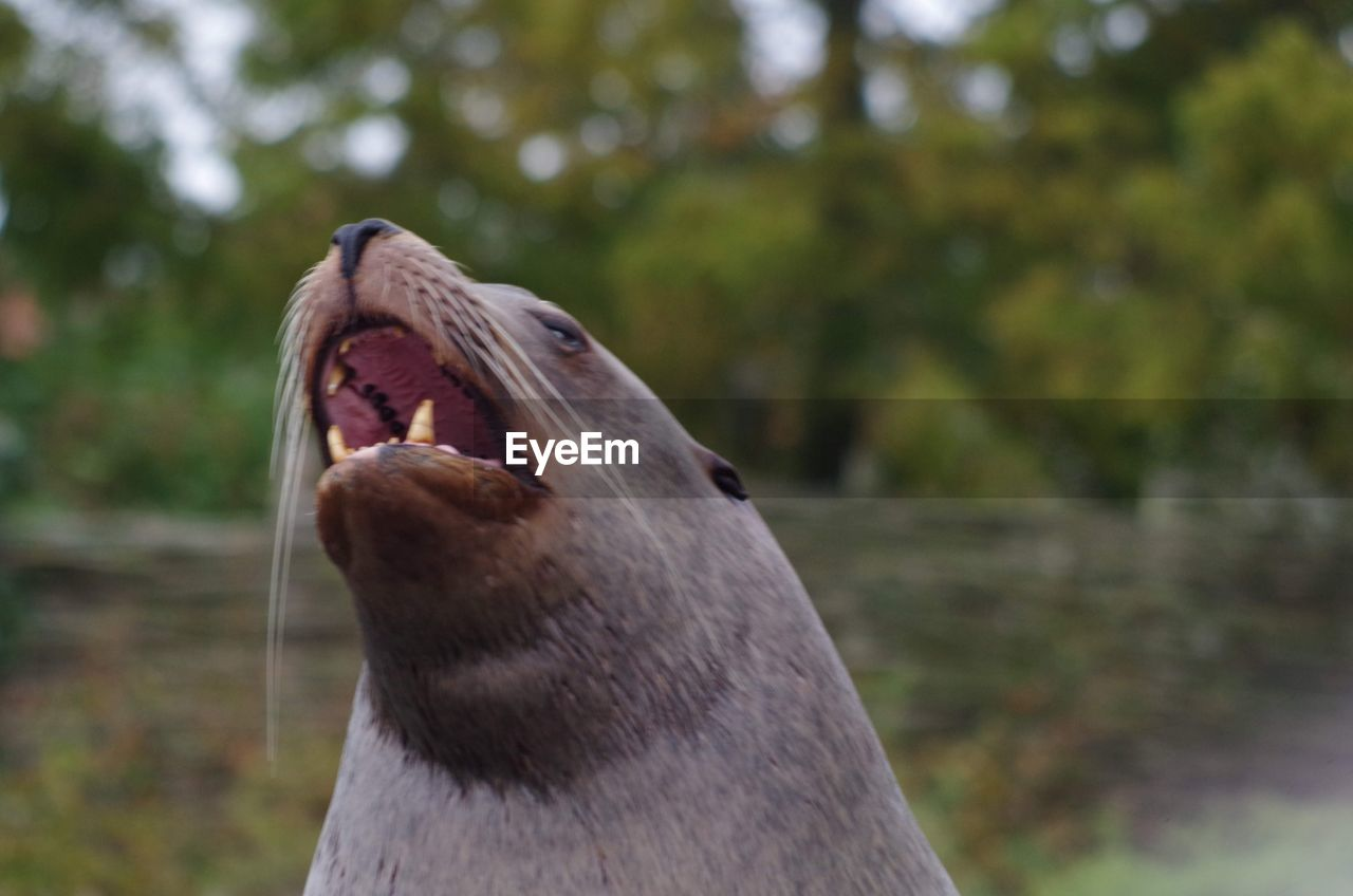 animal, animal themes, one animal, mouth, animal wildlife, animals in the wild, mouth open, focus on foreground, mammal, vertebrate, day, close-up, no people, animal body part, nature, yawning, tree, outdoors, land, anger, aggression, animal head, whisker, animal mouth