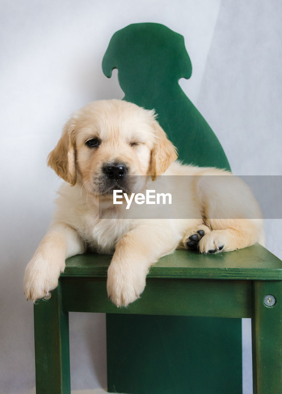 dog, canine, pets, domestic animals, domestic, mammal, one animal, vertebrate, young animal, indoors, portrait, puppy, no people, looking at camera, sitting, relaxation, green color