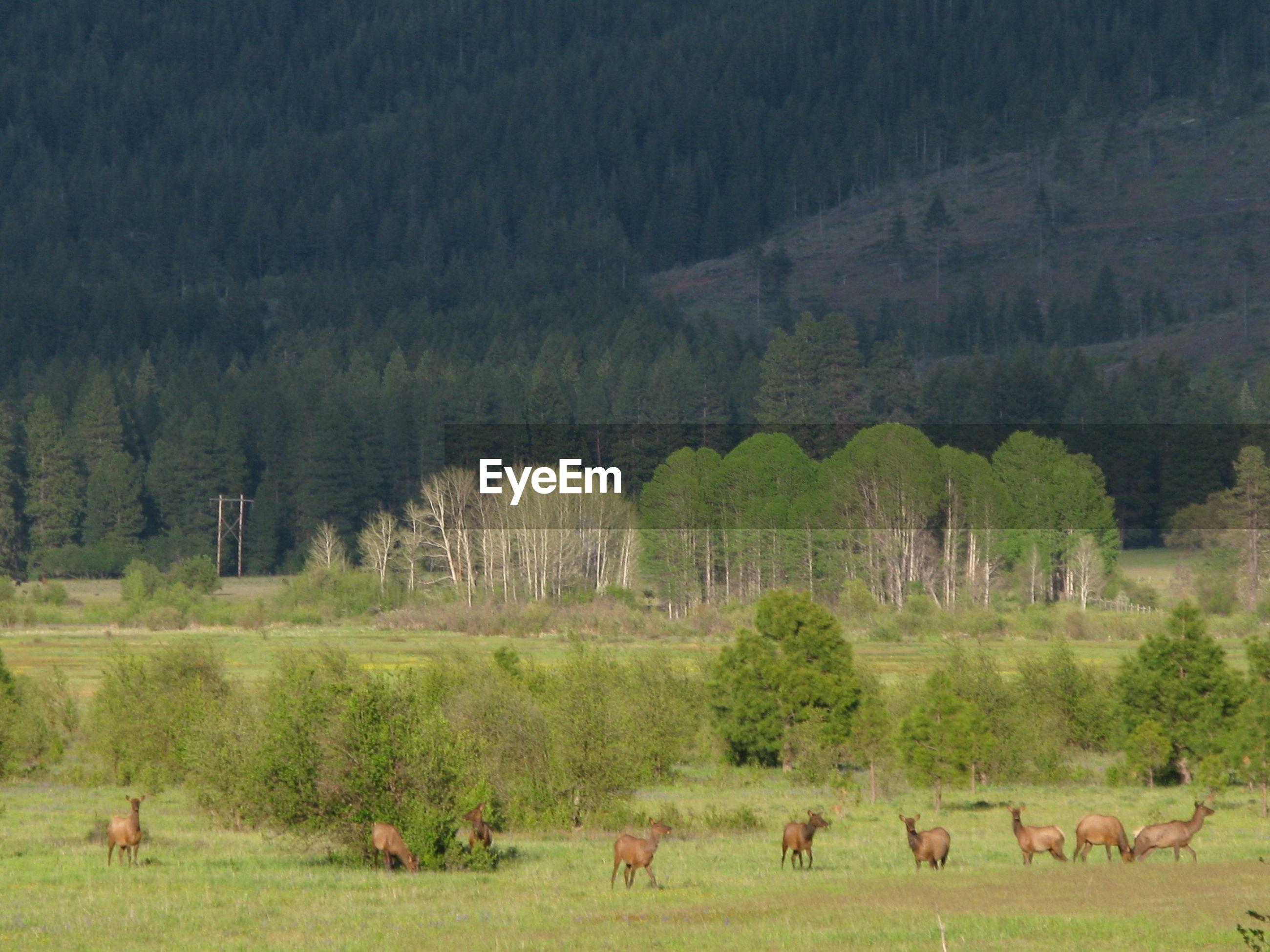 Flock of elk in a field