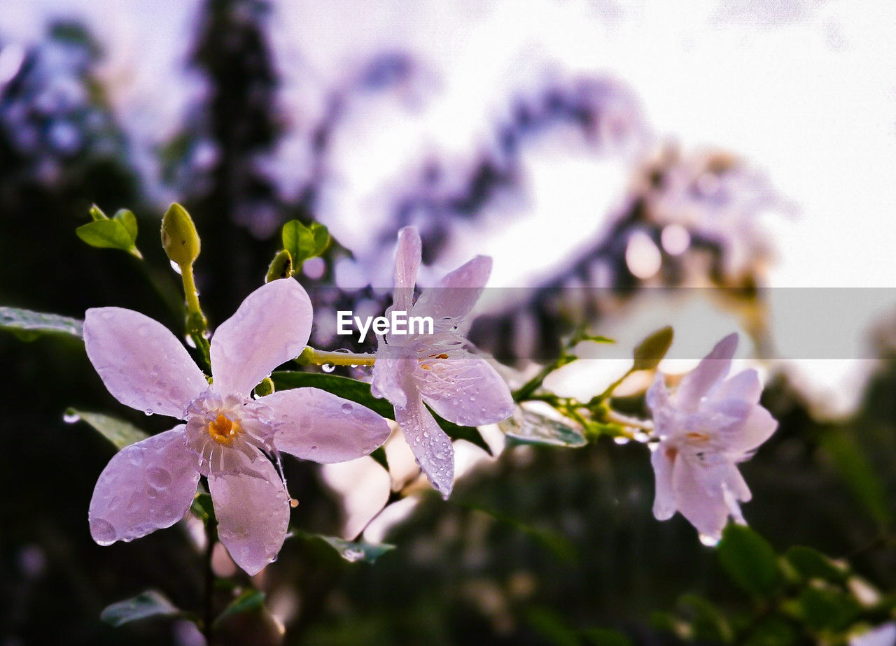 flower, flowering plant, plant, growth, beauty in nature, fragility, vulnerability, freshness, petal, close-up, flower head, inflorescence, selective focus, focus on foreground, blossom, nature, day, no people, botany, pollen, purple, springtime, outdoors, spring, cherry blossom