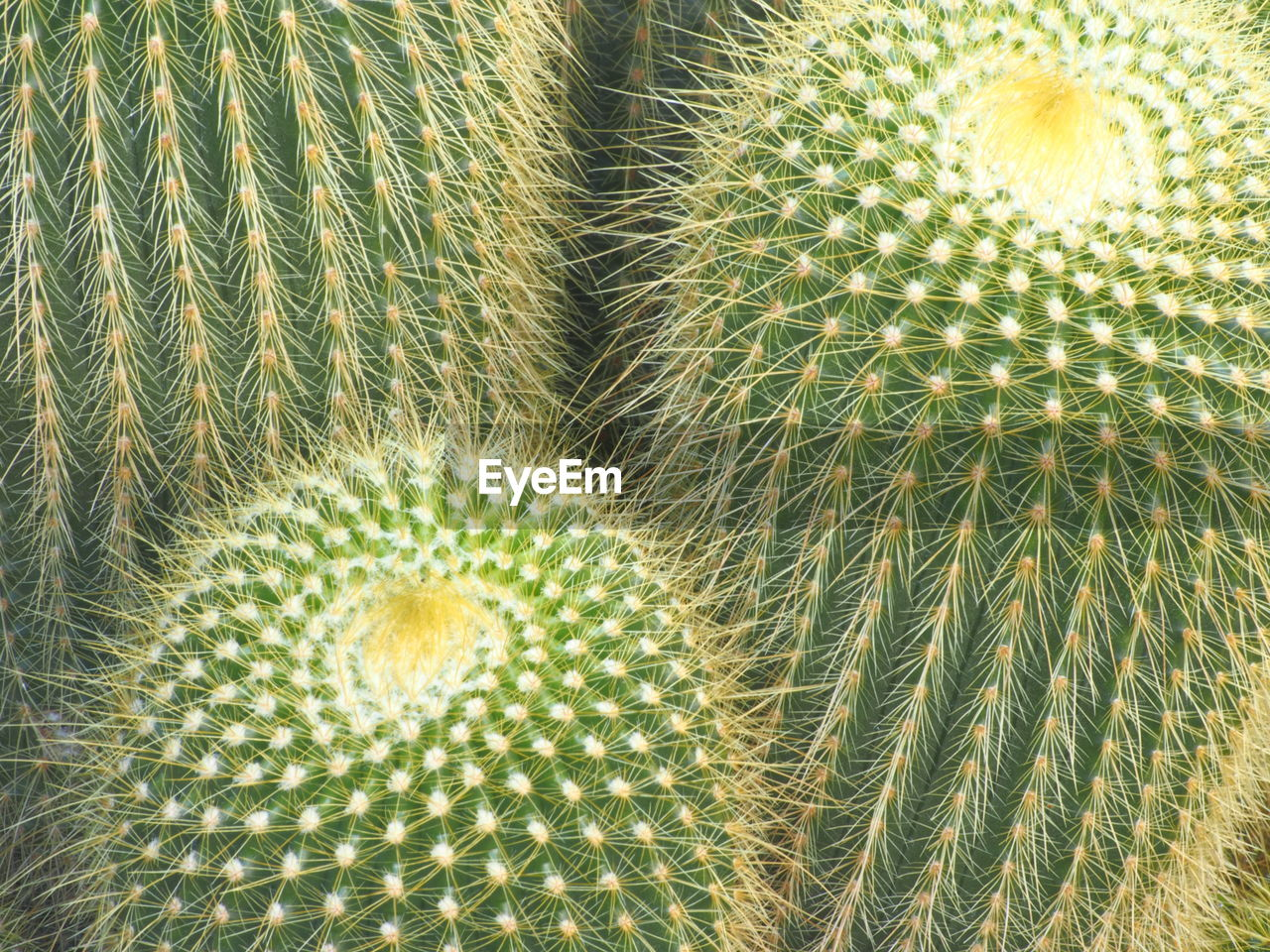 cactus, succulent plant, close-up, no people, barrel cactus, green color, thorn, plant, growth, beauty in nature, natural pattern, full frame, day, nature, sharp, spiked, backgrounds, pattern, textured, land, ecosystem