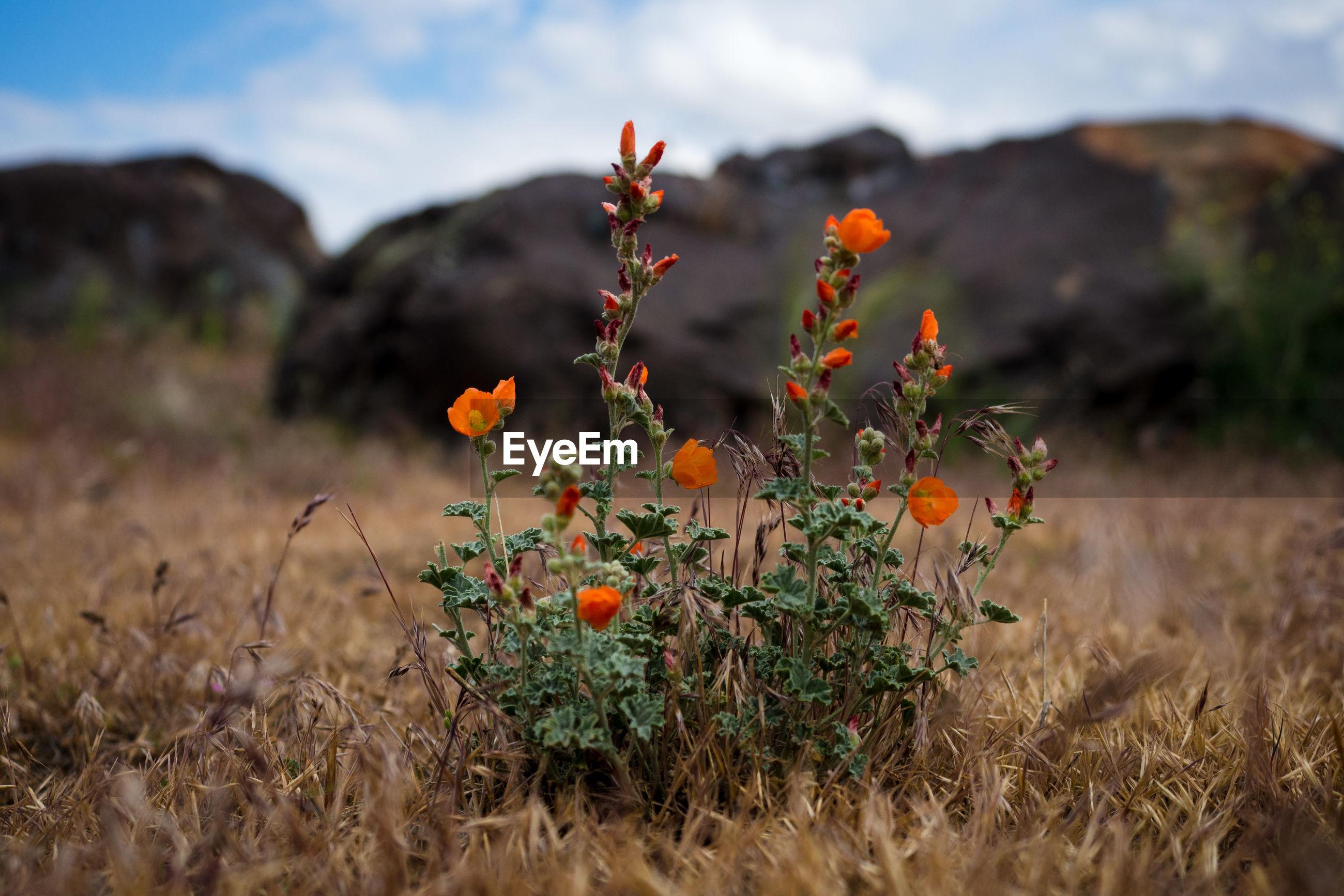 Orange flowers growing on field
