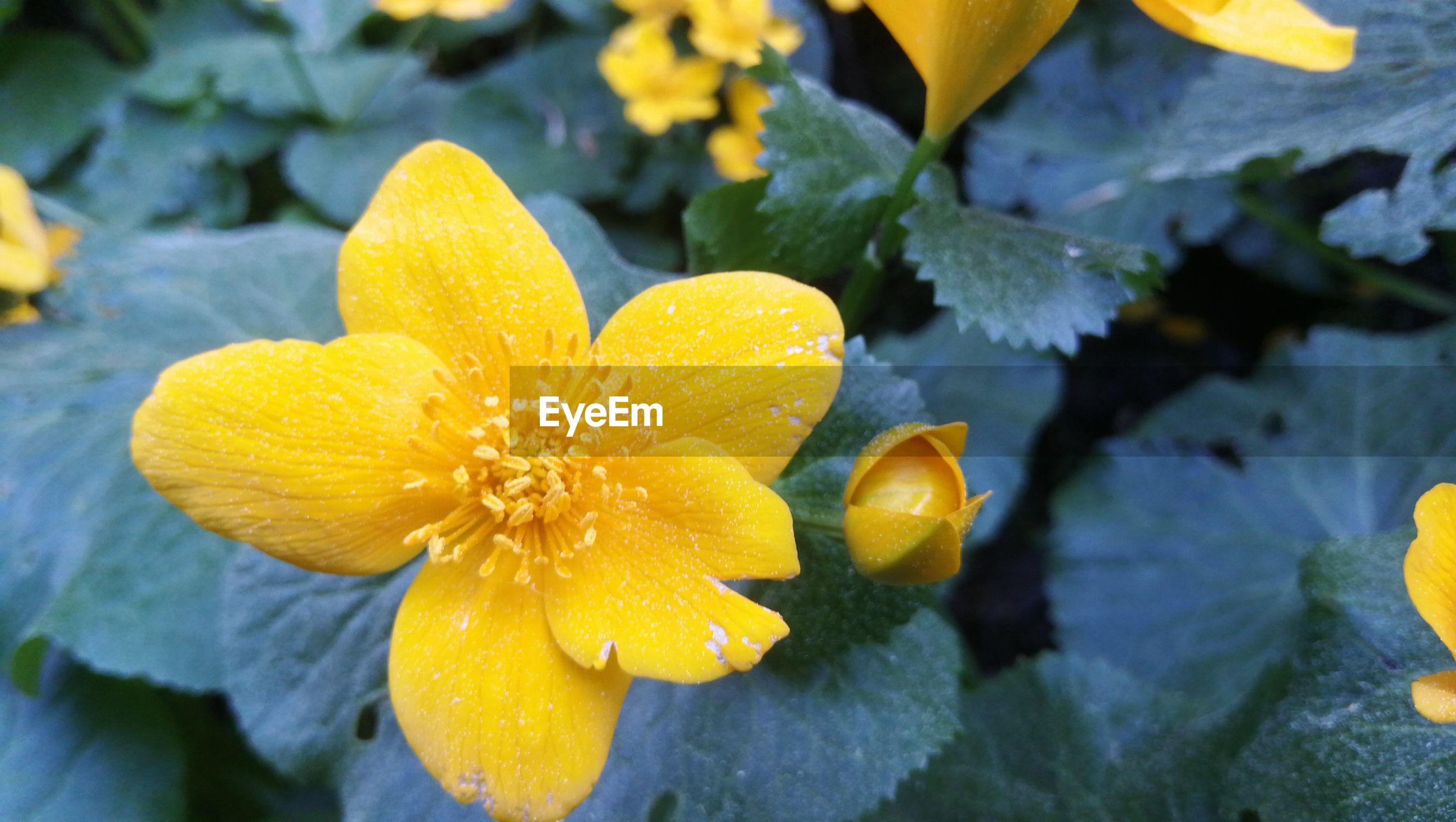CLOSE-UP OF WATER DROPS ON YELLOW ROSE