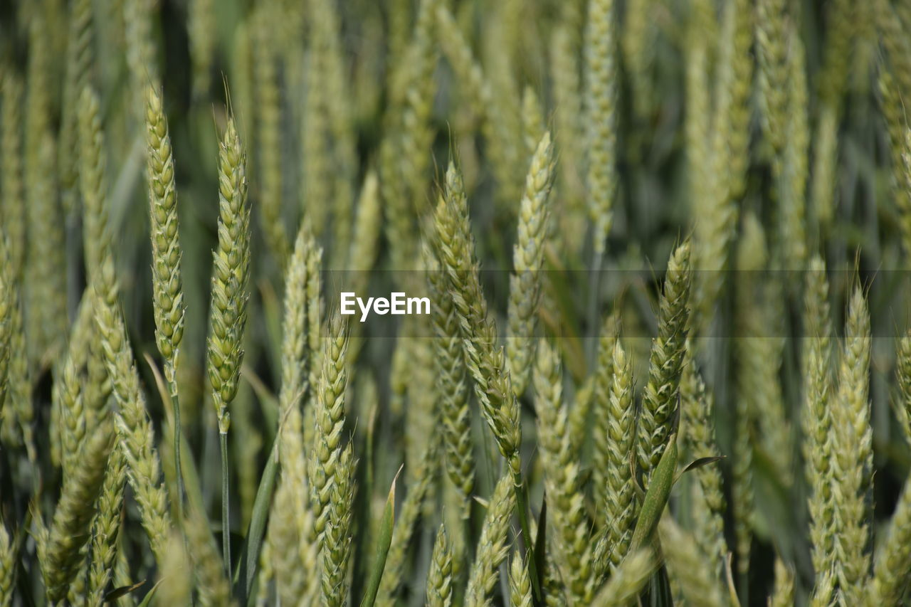 growth, plant, green color, crop, close-up, agriculture, backgrounds, no people, full frame, beauty in nature, nature, cereal plant, day, field, land, rural scene, wheat, focus on foreground, farm, landscape, outdoors, stalk