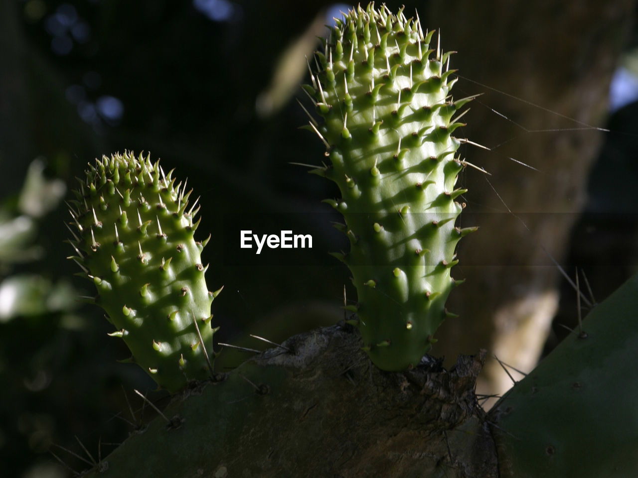 growth, plant, green color, succulent plant, cactus, close-up, beauty in nature, no people, thorn, day, nature, selective focus, focus on foreground, spiky, spiked, freshness, sunlight, sharp, outdoors, flower, arid climate