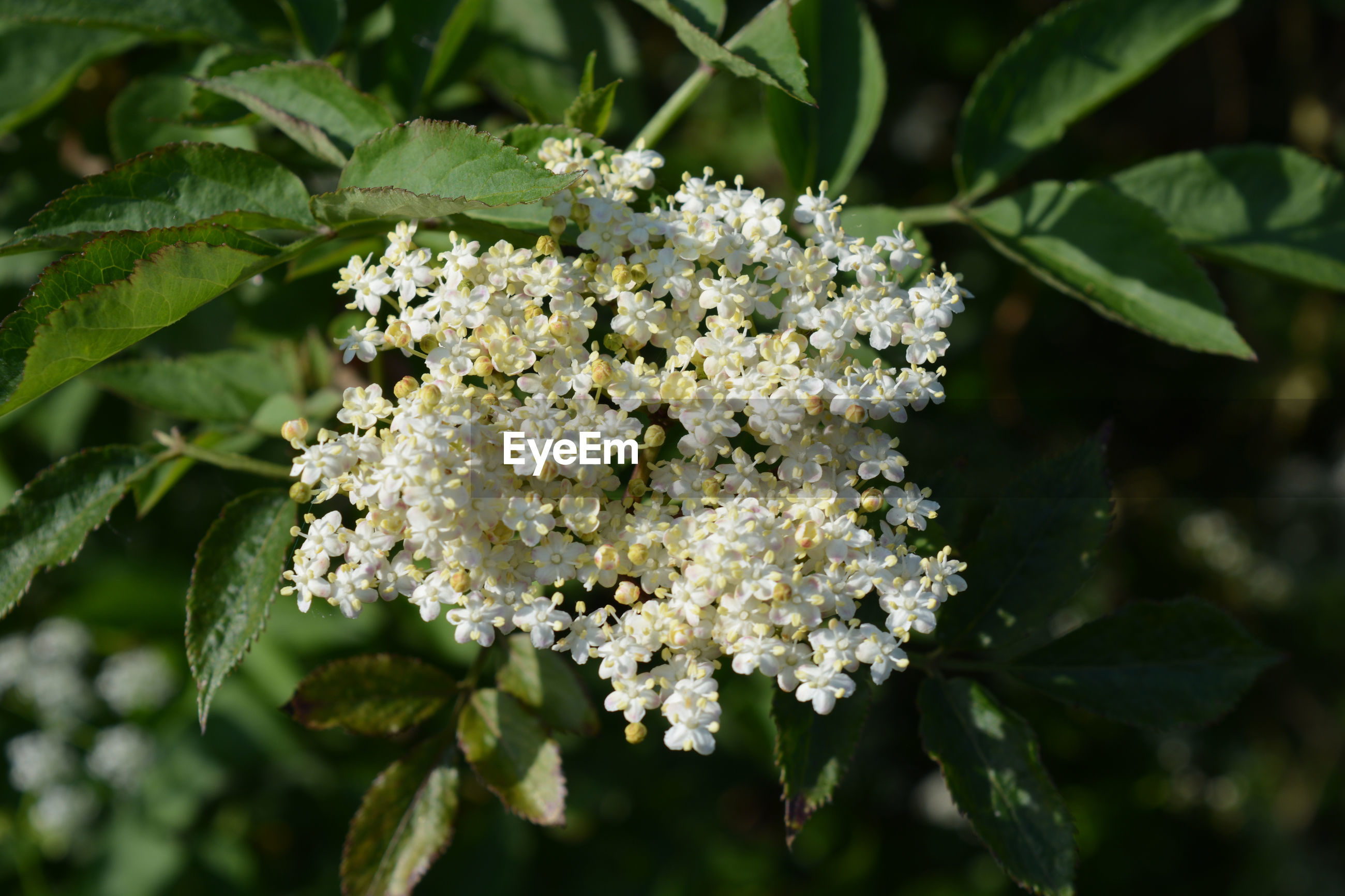 Tiny white flowers of the elderflower growing in a british hedgerow, also known as sambucus nigra