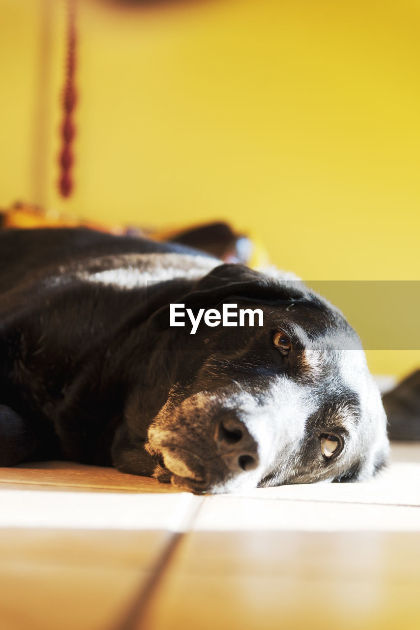 one animal, animal themes, animal, domestic, mammal, domestic animals, pets, dog, canine, relaxation, vertebrate, indoors, close-up, no people, home interior, selective focus, lying down, resting, black color, portrait, animal head