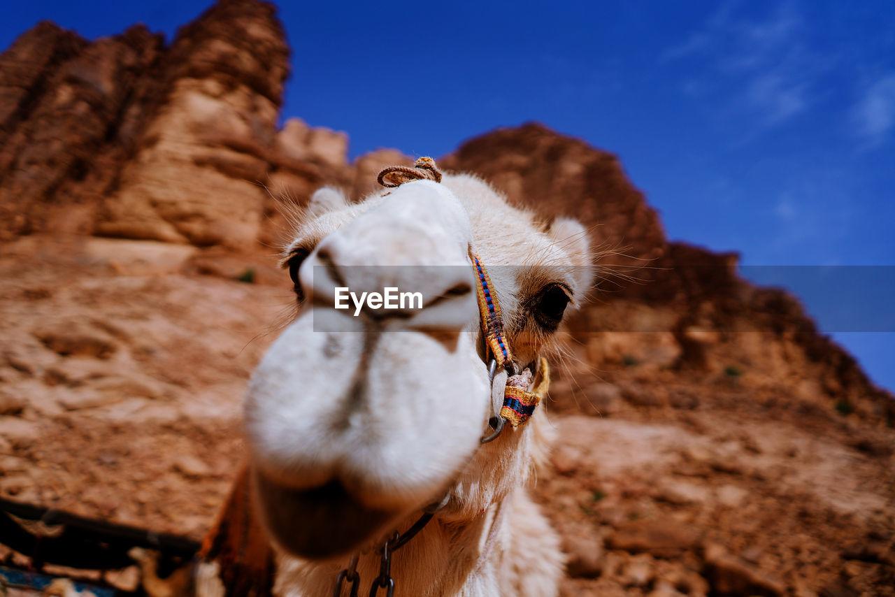 Close-up of camel