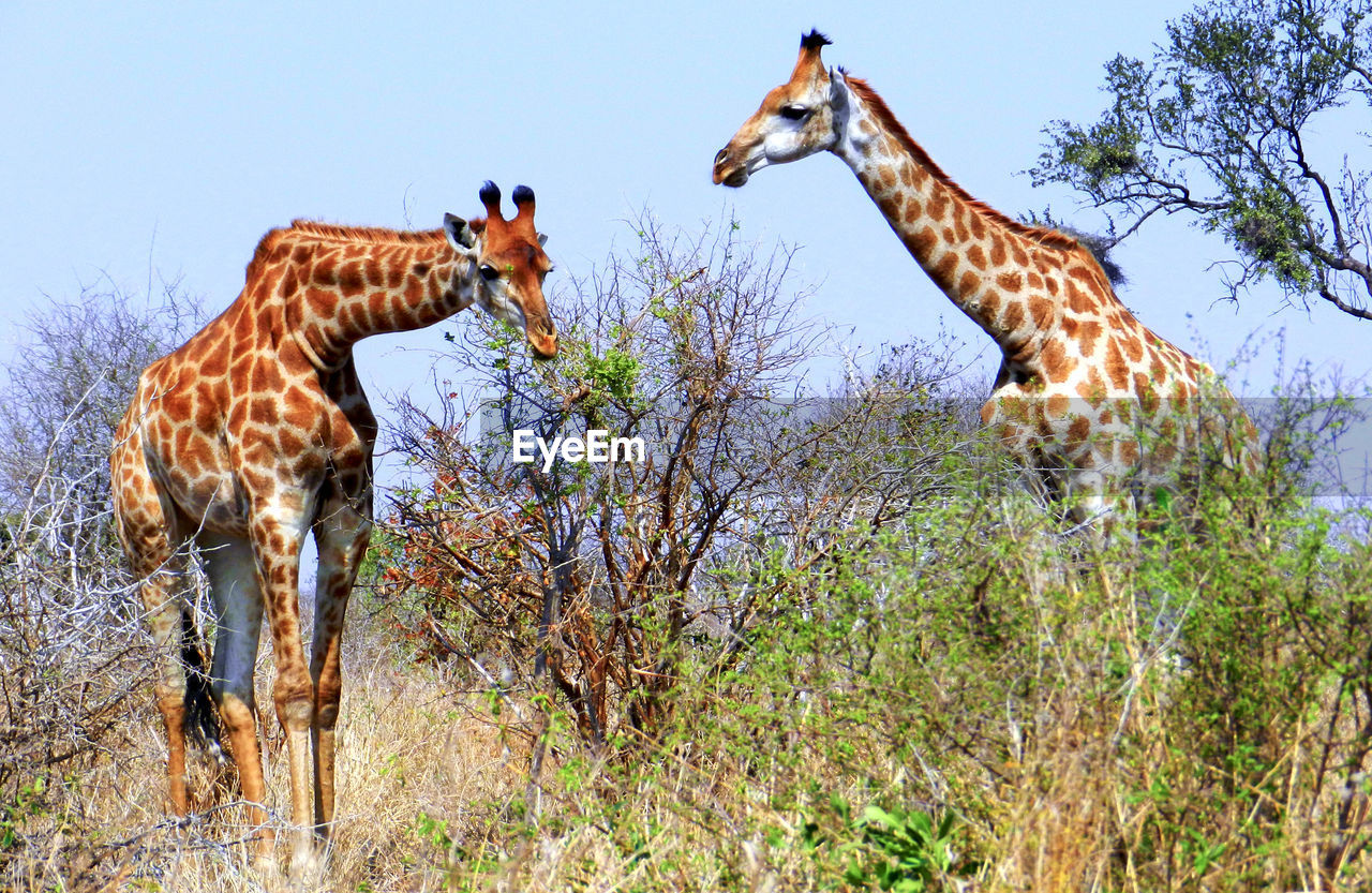 animal wildlife, animal themes, animal, animals in the wild, mammal, group of animals, giraffe, plant, safari, no people, tree, two animals, nature, vertebrate, animal markings, day, sky, herbivorous, animal neck, animal family