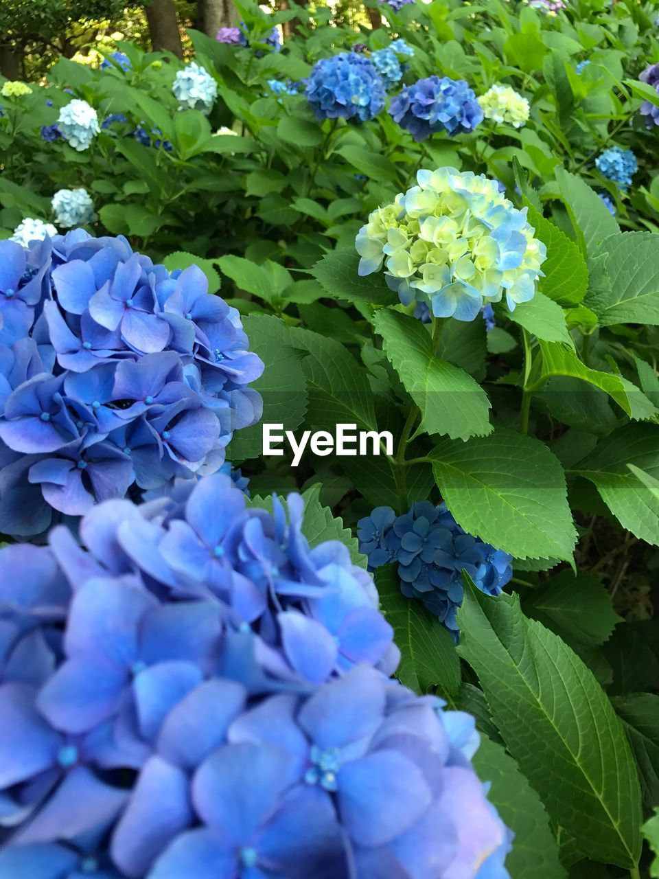 flower, growth, nature, plant, beauty in nature, purple, fragility, leaf, freshness, green color, hydrangea, petal, day, outdoors, no people, blue, flower head, blooming, close-up