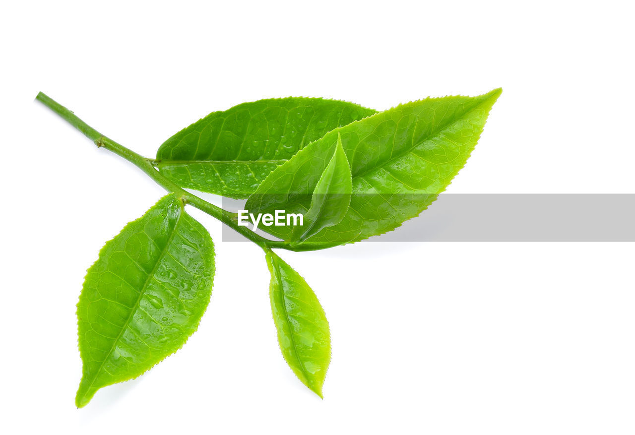 leaf, plant part, white background, green color, studio shot, herb, freshness, food and drink, cut out, nature, food, close-up, plant, indoors, wellbeing, ingredient, no people, leaf vein, organic, beauty in nature, mint leaf - culinary, leaves