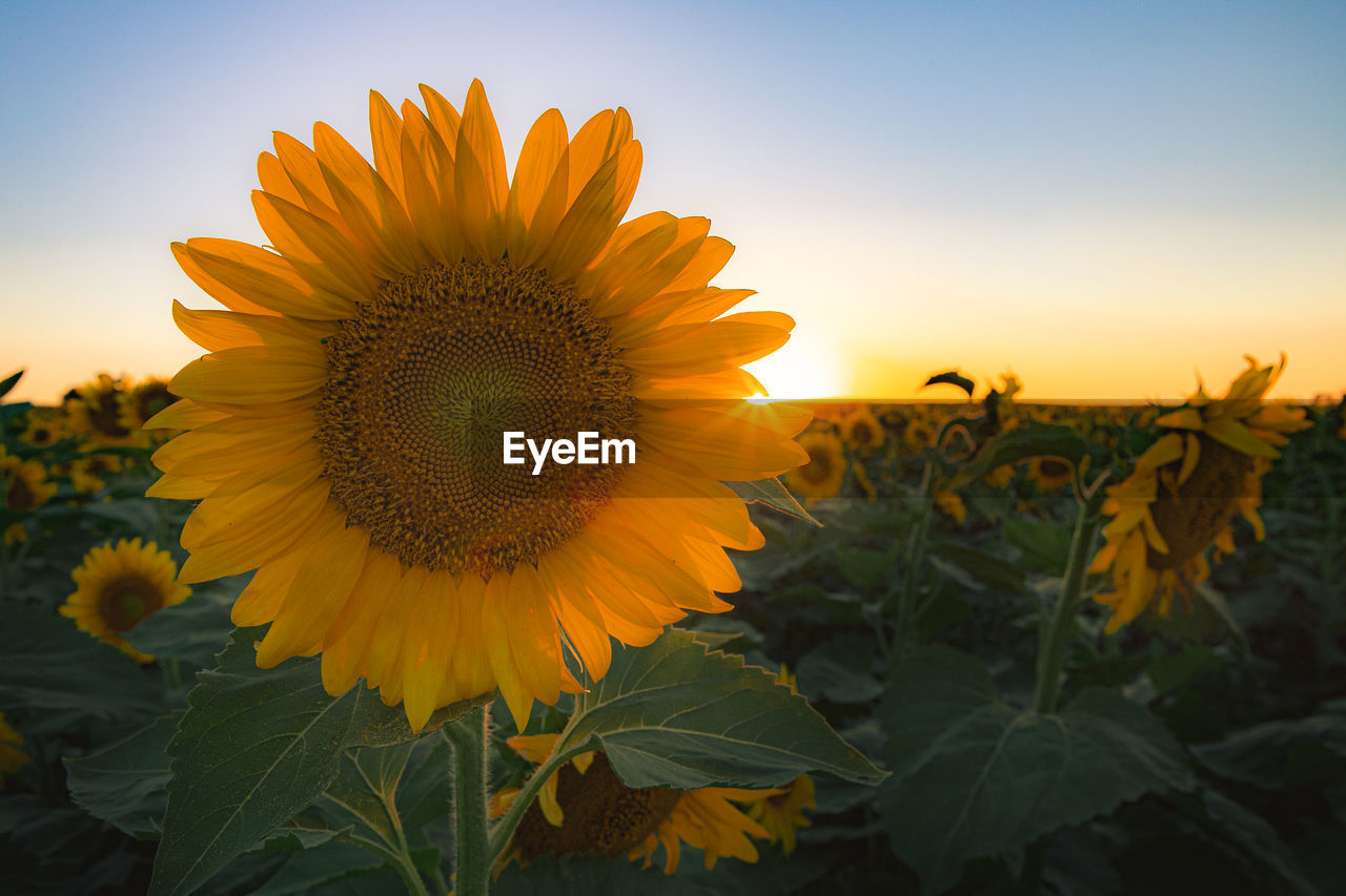 CLOSE-UP OF SUNFLOWER AT SUNSET