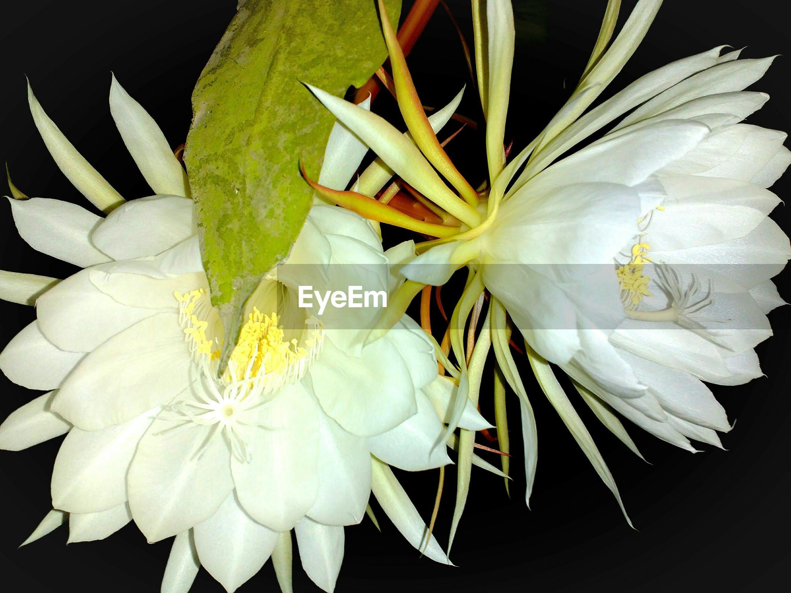 flower, petal, flower head, freshness, fragility, white color, close-up, beauty in nature, growth, plant, pollen, nature, blooming, white, stamen, indoors, single flower, studio shot, black background, in bloom
