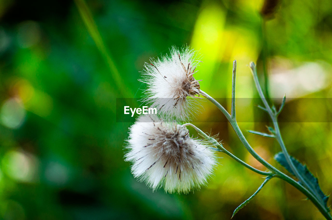 CLOSE-UP OF DANDELION AGAINST WHITE WALL
