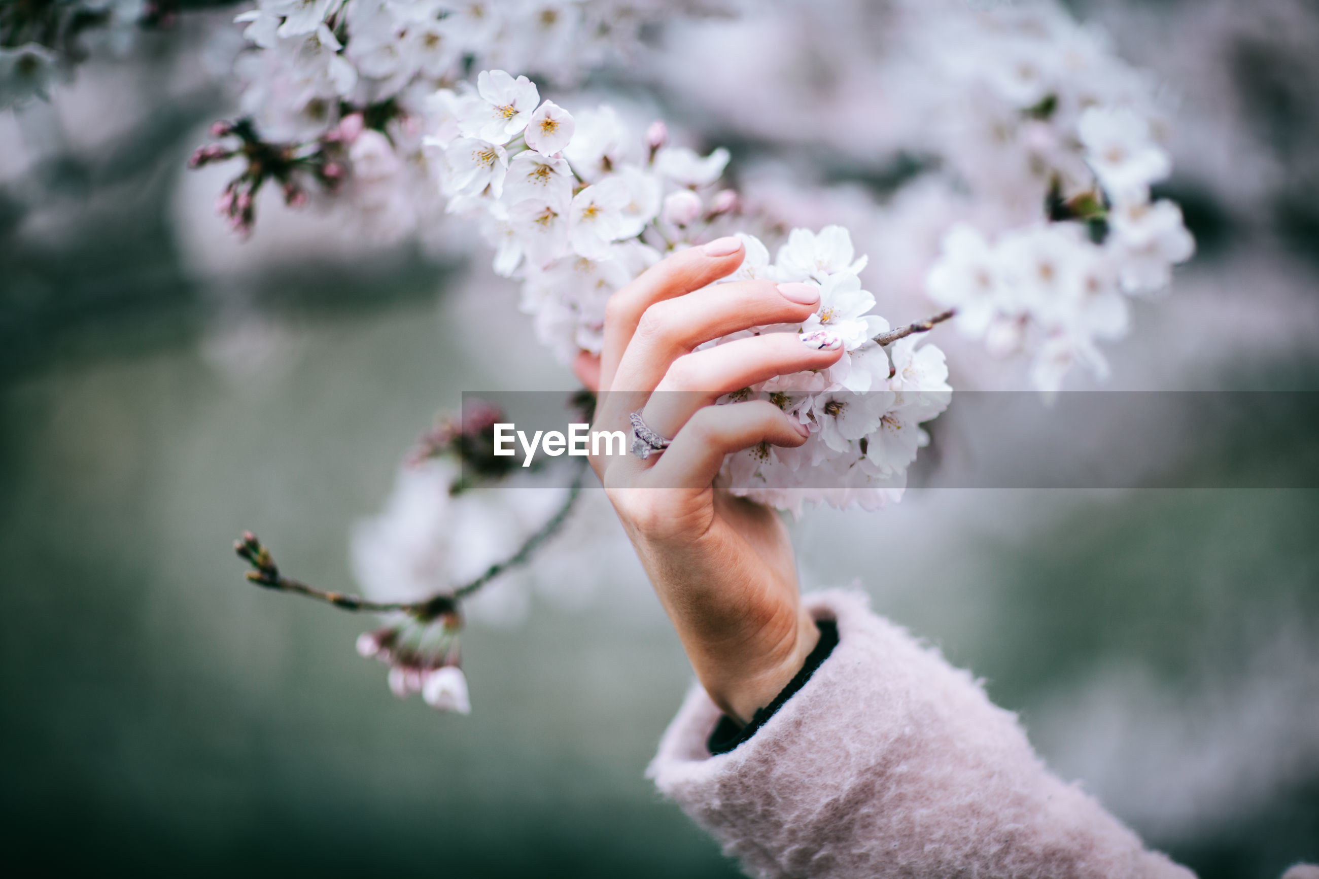 Cropped image of hand holding white flowers on tree
