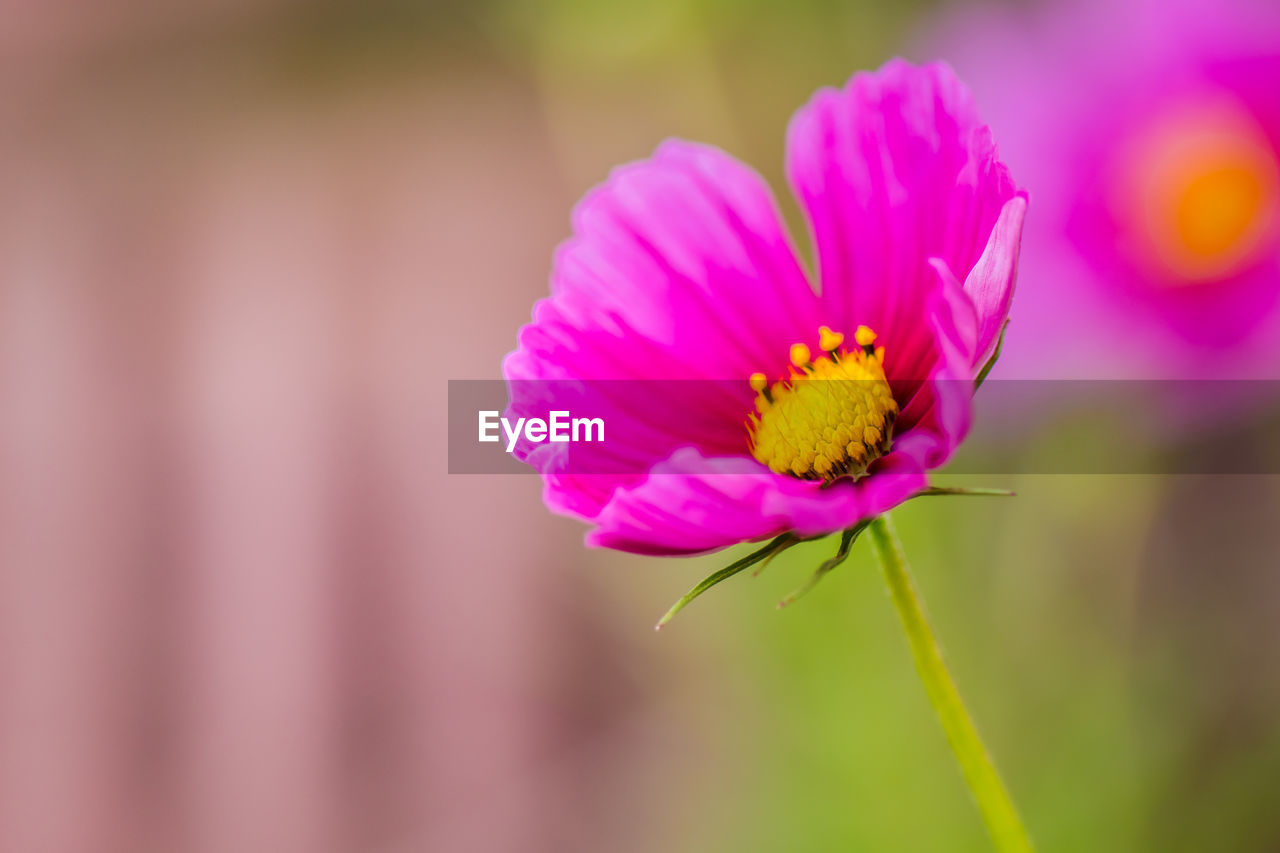 flowering plant, flower, fragility, vulnerability, freshness, plant, beauty in nature, petal, close-up, flower head, pink color, growth, inflorescence, focus on foreground, pollen, nature, no people, day, yellow, outdoors, purple
