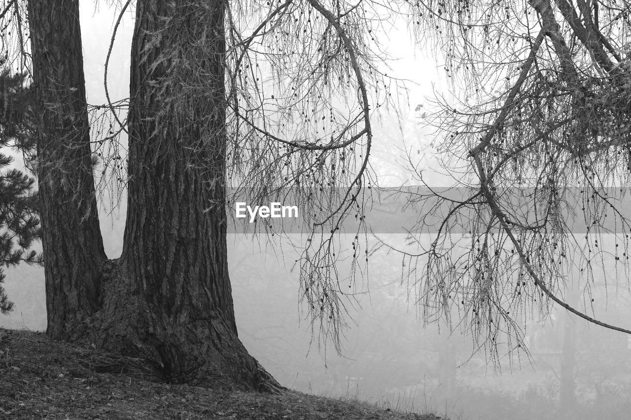 tree, tree trunk, trunk, plant, branch, bare tree, forest, land, no people, nature, tranquility, winter, beauty in nature, cold temperature, scenics - nature, day, non-urban scene, tranquil scene, outdoors, woodland