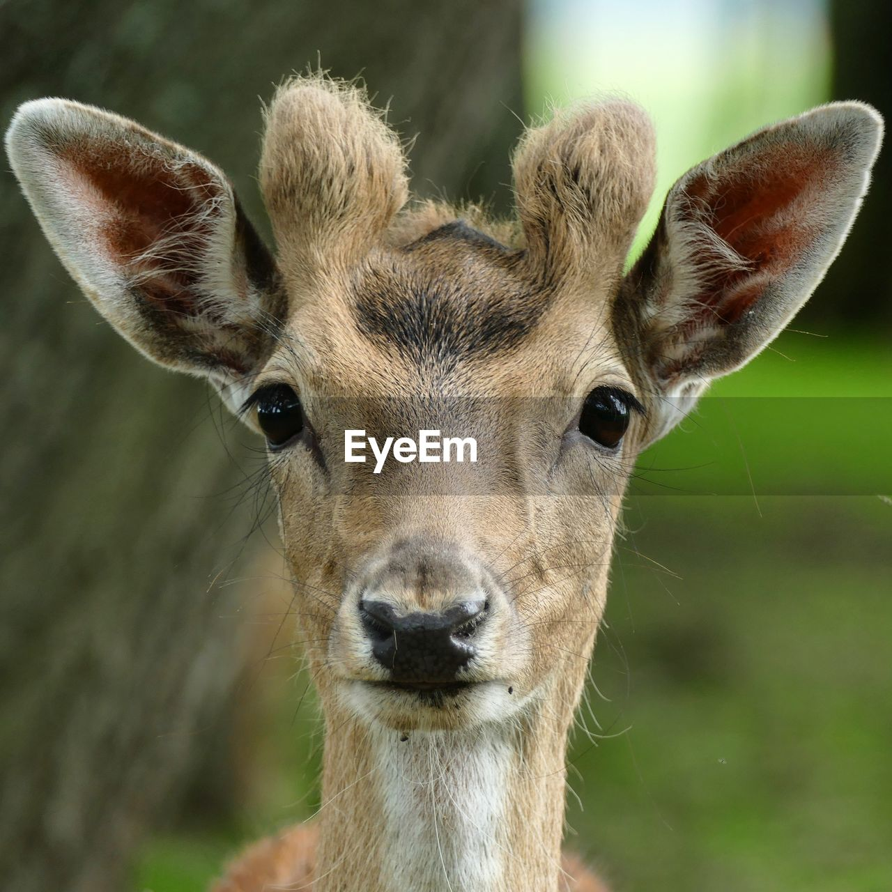 mammal, one animal, animals in the wild, animal wildlife, deer, focus on foreground, close-up, portrait, vertebrate, no people, animal body part, looking at camera, day, herbivorous, domestic animals, fawn
