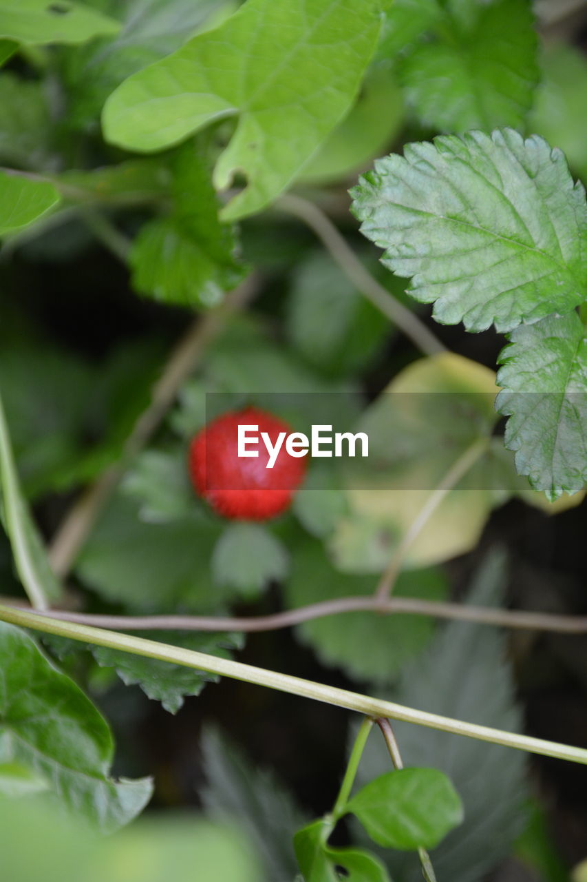leaf, growth, fruit, food and drink, green color, red, freshness, healthy eating, plant, food, outdoors, day, no people, close-up, nature, focus on foreground, agriculture, beauty in nature
