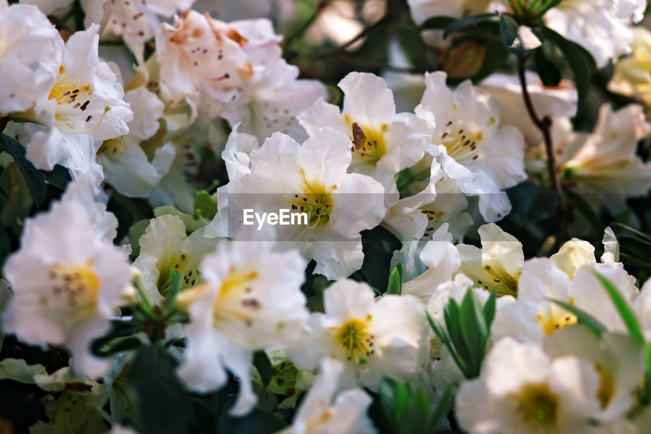 flower, white color, fragility, petal, nature, beauty in nature, selective focus, blossom, freshness, no people, growth, flower head, close-up, springtime, day, outdoors, blooming