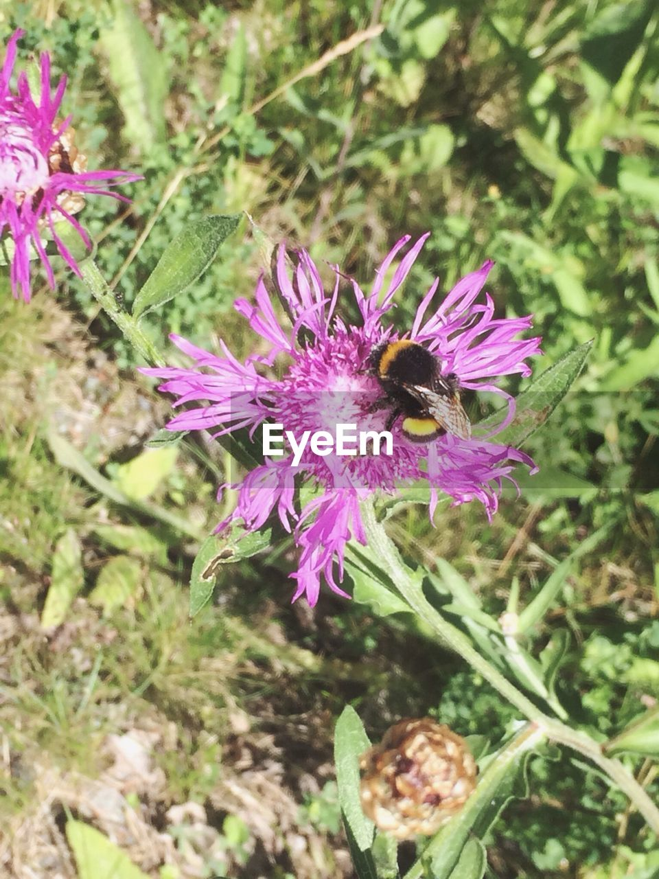 flower, flowering plant, plant, freshness, beauty in nature, growth, invertebrate, fragility, animal, insect, animals in the wild, vulnerability, animal themes, bee, petal, animal wildlife, flower head, one animal, close-up, nature, purple, pollination, no people, pink color, outdoors, pollen, bumblebee