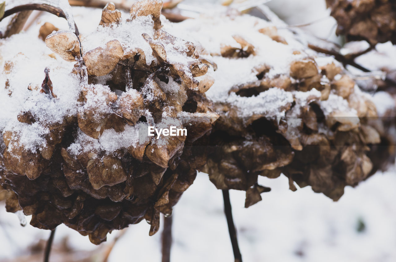 snow, close-up, focus on foreground, cold temperature, winter, no people, food, food and drink, day, nature, freshness, white color, brown, plant, frozen, tree, outdoors, beauty in nature, ready-to-eat, temptation, dried