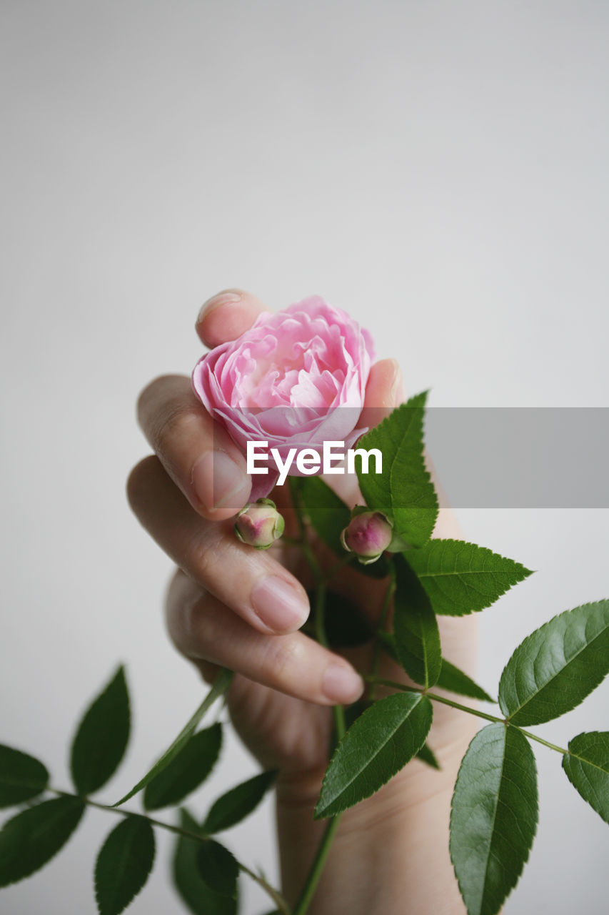 Cropped hand holding pink rose against gray background