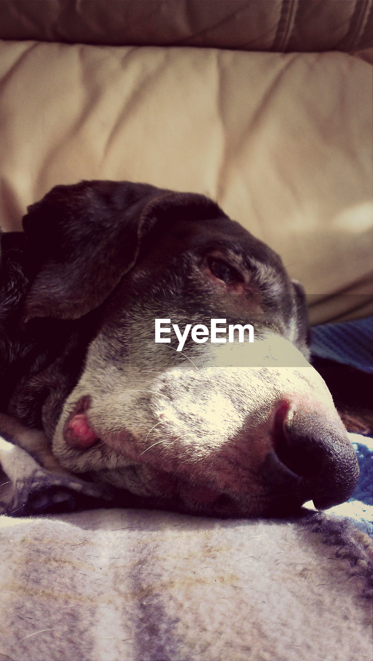 animal themes, one animal, dog, pets, domestic animals, mammal, animal head, close-up, relaxation, resting, animal body part, lying down, sleeping, indoors, focus on foreground, zoology, no people, part of, looking away, snout