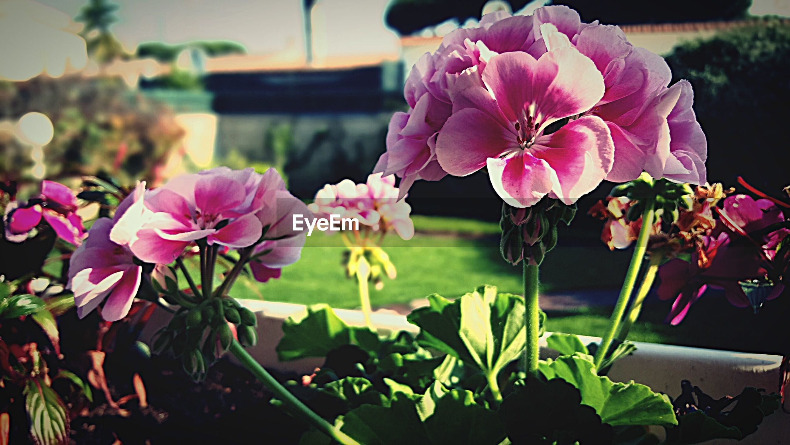 flower, freshness, petal, fragility, growth, plant, beauty in nature, flower head, nature, blooming, focus on foreground, pink color, close-up, potted plant, leaf, stem, in bloom, day, indoors, no people