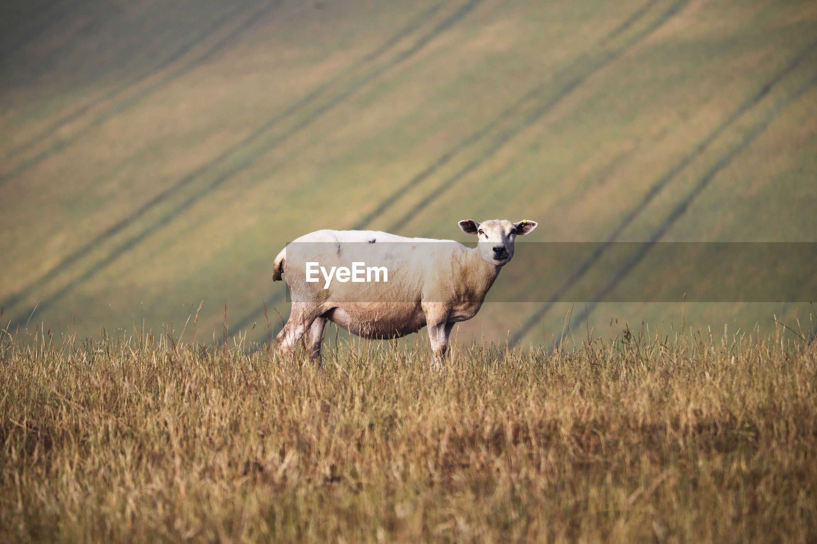 Side view of sheep standing on field
