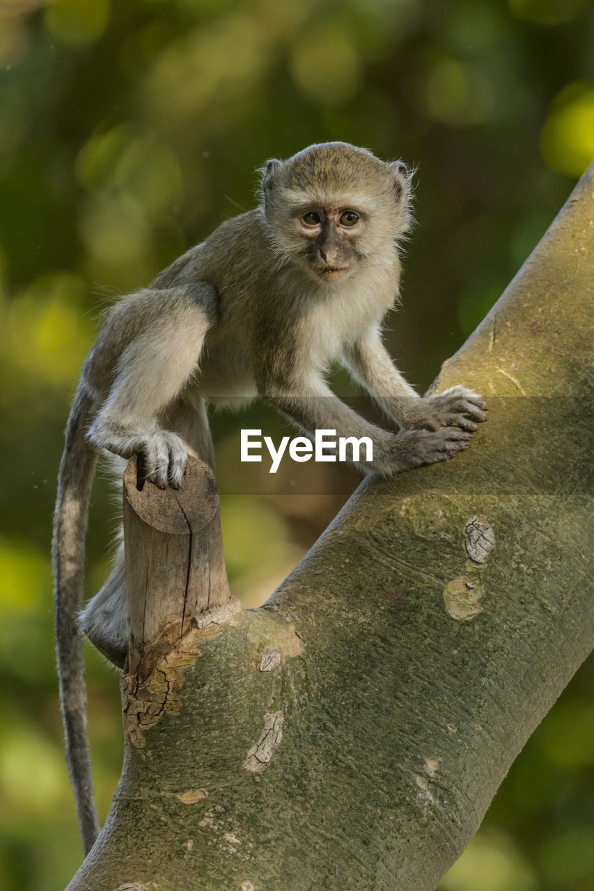 animal, animal themes, animal wildlife, animals in the wild, focus on foreground, mammal, tree, one animal, vertebrate, no people, plant, day, nature, portrait, branch, sitting, primate, looking at camera, monkey, outdoors