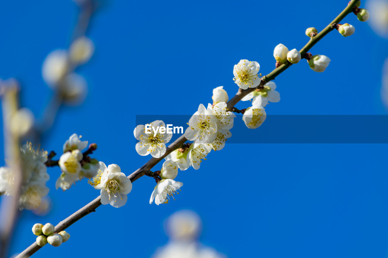 flower, beauty in nature, fragility, nature, tree, blossom, springtime, branch, growth, apple blossom, apple tree, twig, freshness, clear sky, blue, low angle view, botany, white color, orchard, petal, day, close-up, spring, no people, outdoors, plum blossom, flower head, blooming, sky