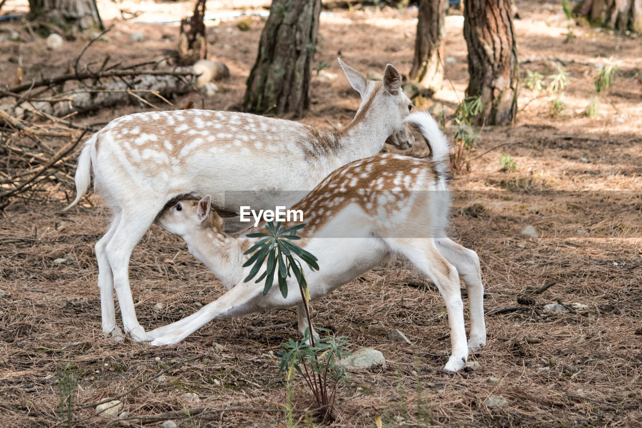 animal, animal themes, animal wildlife, land, animals in the wild, mammal, field, group of animals, tree, vertebrate, no people, nature, day, spotted, deer, plant, forest, two animals, herbivorous, fawn