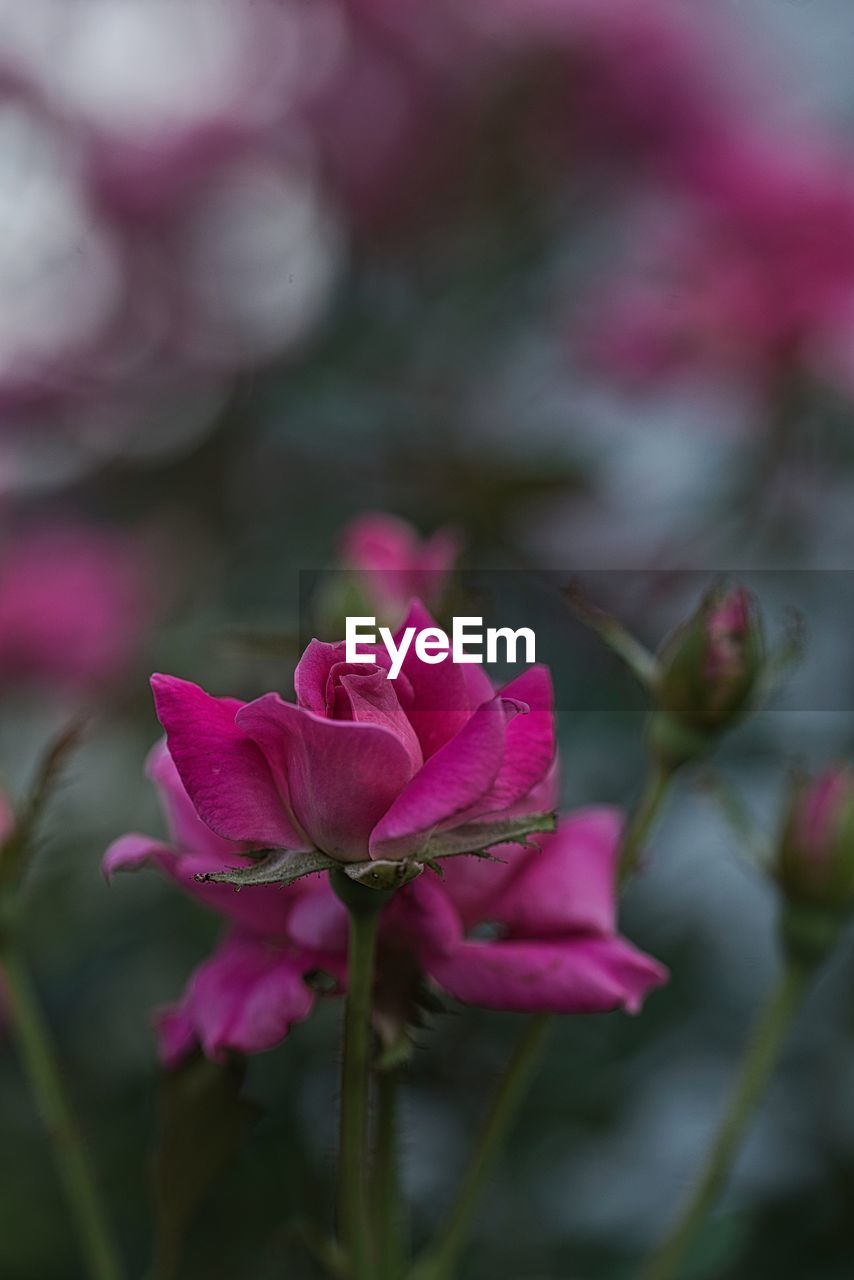 pink color, flowering plant, plant, flower, beauty in nature, petal, close-up, freshness, vulnerability, fragility, growth, inflorescence, flower head, nature, no people, rose, focus on foreground, day, selective focus, outdoors