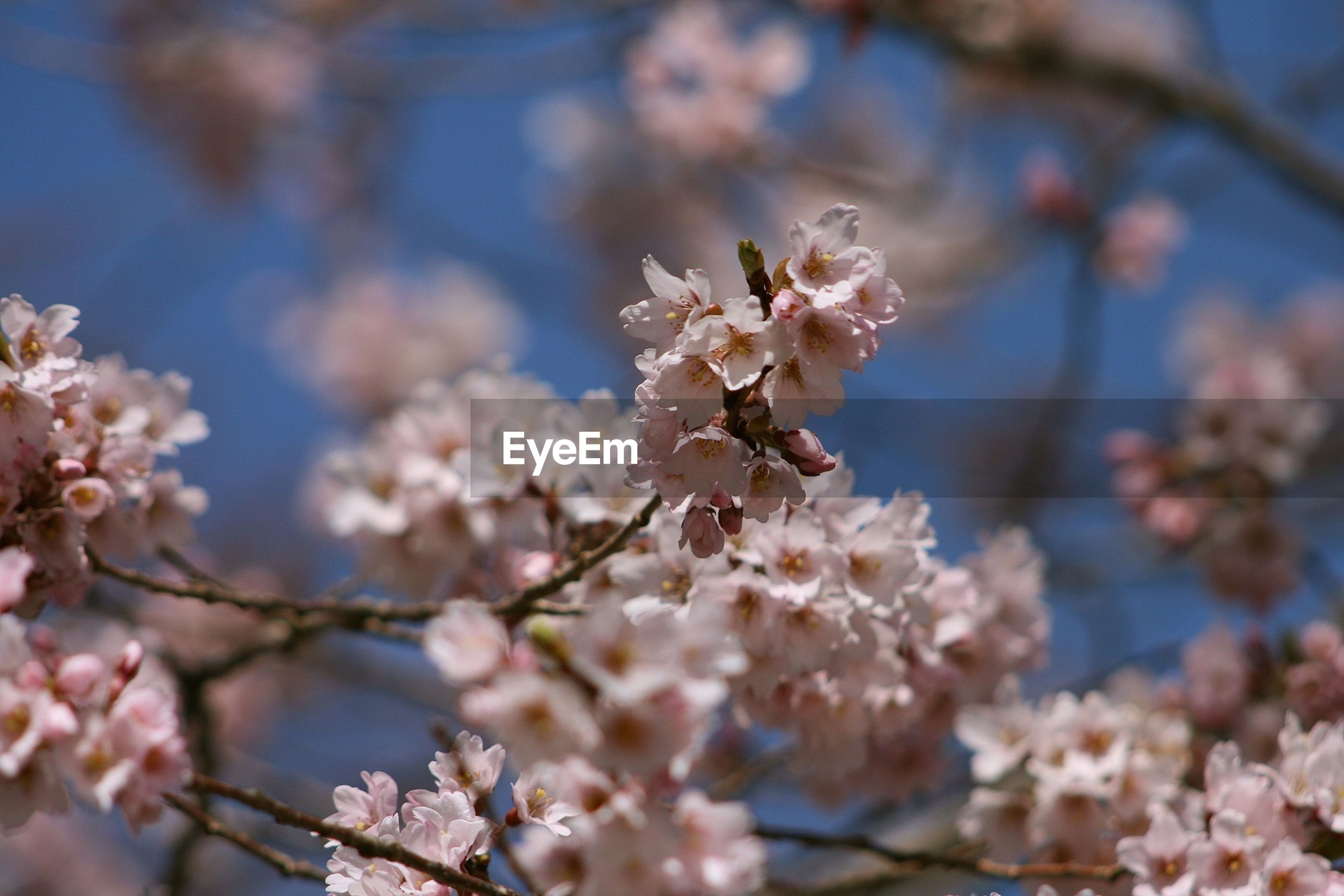 flower, branch, freshness, cherry blossom, tree, fragility, growth, beauty in nature, blossom, cherry tree, nature, focus on foreground, springtime, close-up, petal, in bloom, blooming, low angle view, twig, pink color