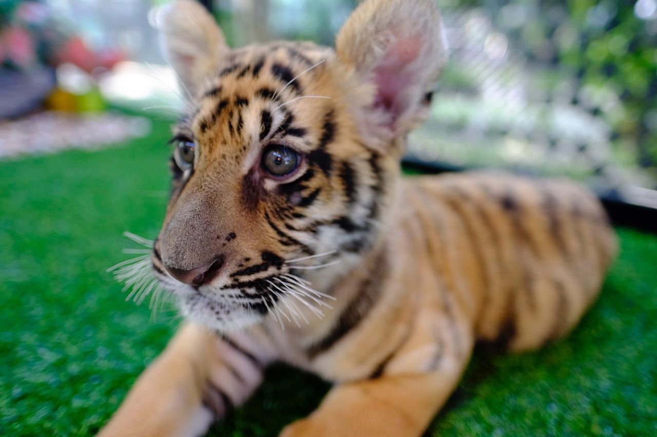animal themes, animal, one animal, feline, cat, tiger, mammal, big cat, animal wildlife, vertebrate, close-up, pets, selective focus, domestic animals, animal markings, focus on foreground, real people, animals in the wild, looking away, zoo, whisker