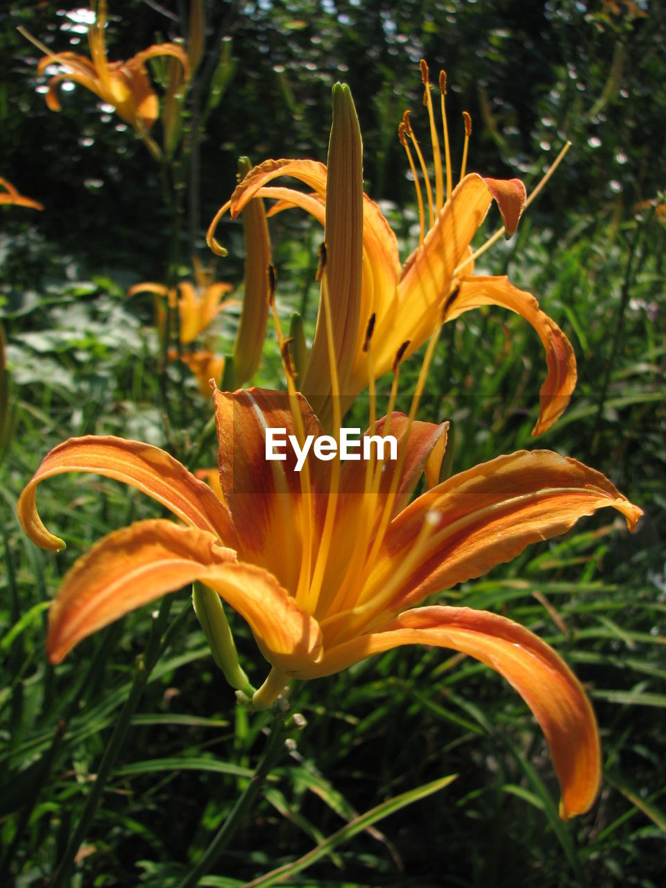 flower, growth, petal, day lily, freshness, flower head, beauty in nature, fragility, nature, plant, yellow, outdoors, no people, lily, close-up, day, blooming, springtime