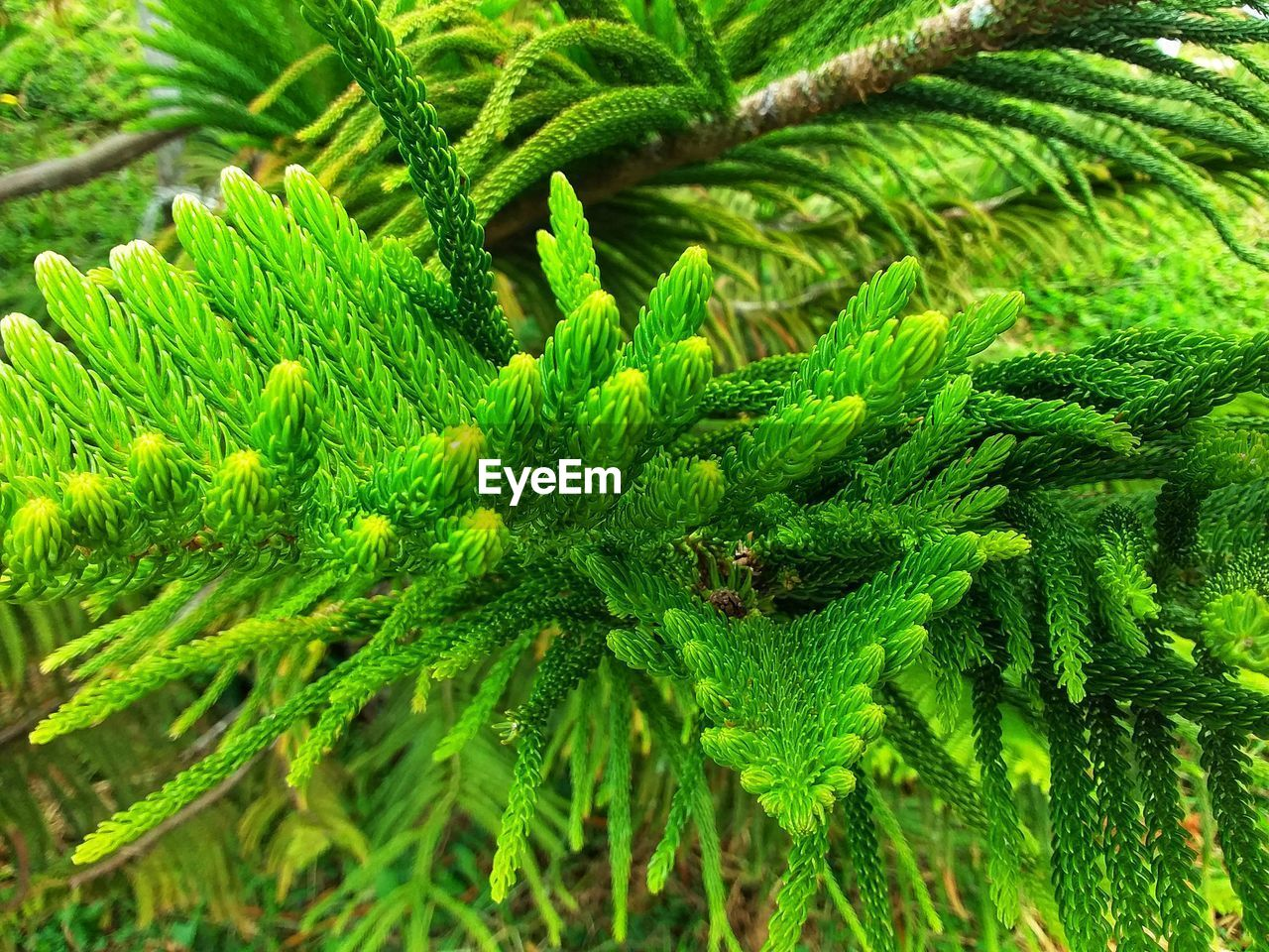 green color, growth, plant, leaf, plant part, close-up, nature, day, beauty in nature, no people, focus on foreground, outdoors, tree, high angle view, healthcare and medicine, pine tree, herb, fragility, selective focus, branch, needle - plant part, coniferous tree