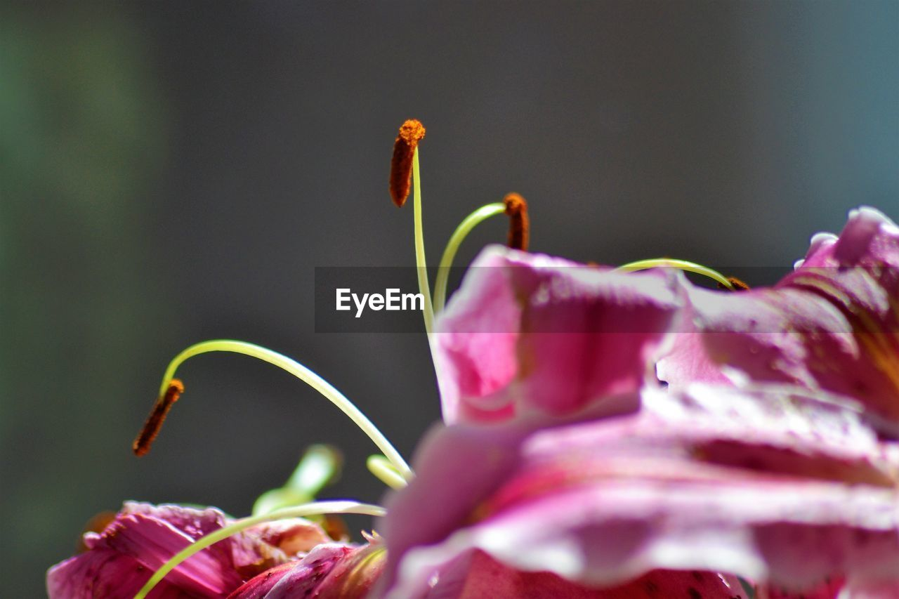 flowering plant, flower, beauty in nature, plant, petal, vulnerability, growth, close-up, freshness, fragility, nature, flower head, inflorescence, no people, selective focus, focus on foreground, pink color, day, outdoors, pollen, purple